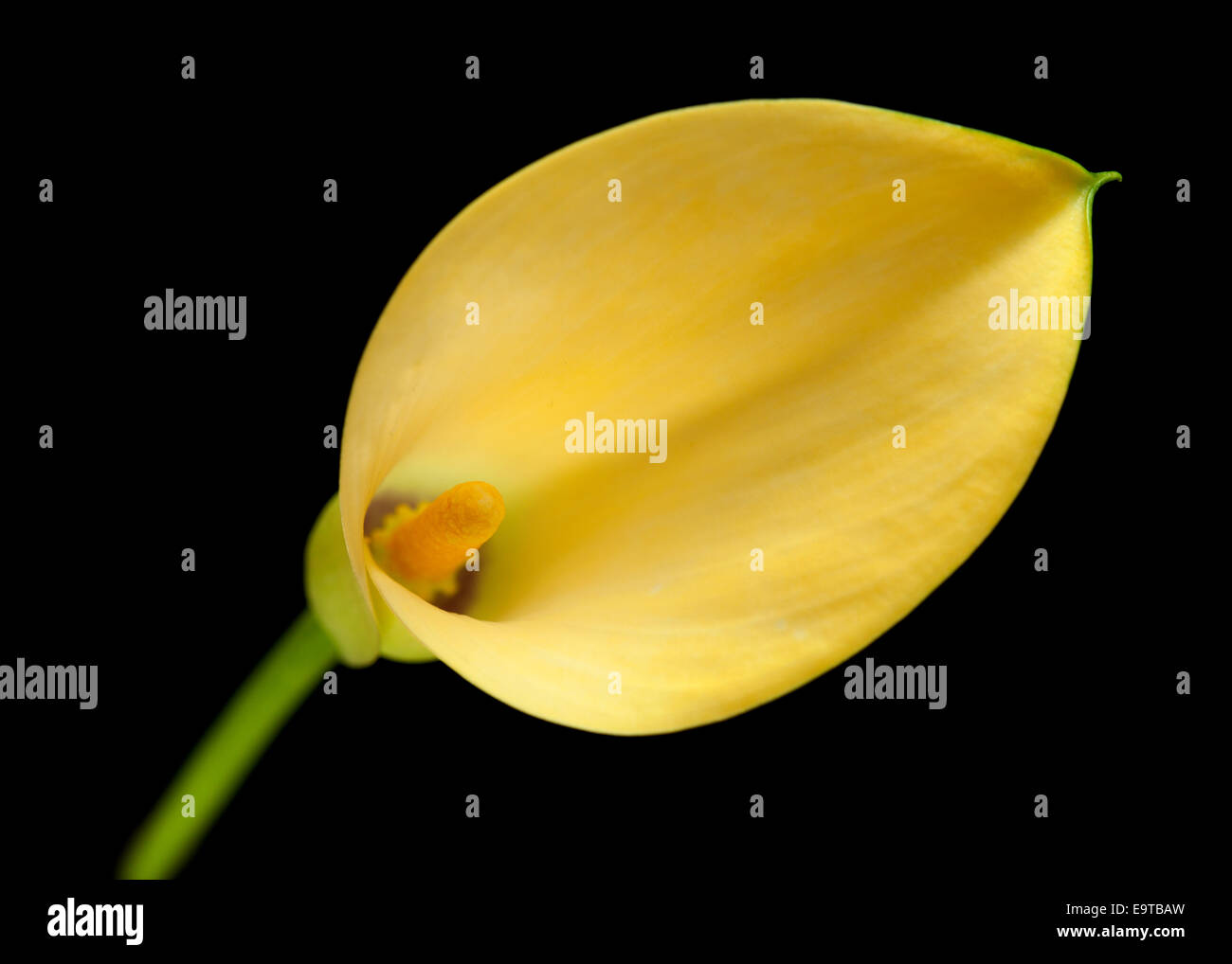 Yellow calla lily flower islolated on black background stock photo stock photo yellow calla lily flower islolated on black background dhlflorist Images