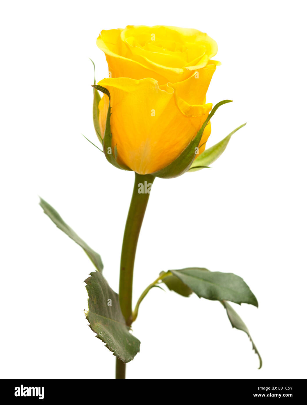 Single yellow rose flower isolated on white stock photo royalty stock photo single yellow rose flower isolated on white dhlflorist Image collections