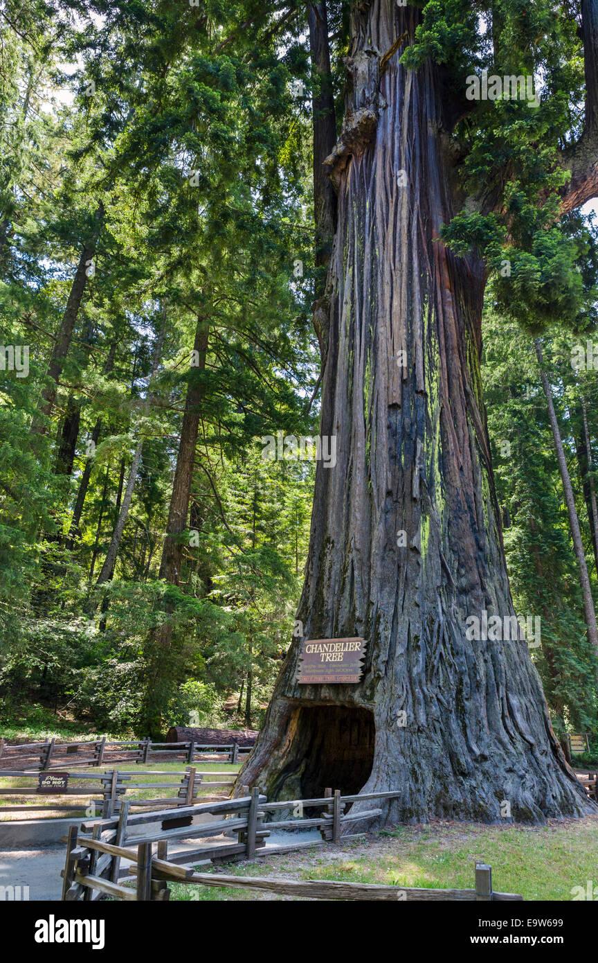 The 2400 year old Chandelier Drive-thru Redwood Tree in Leggett ...