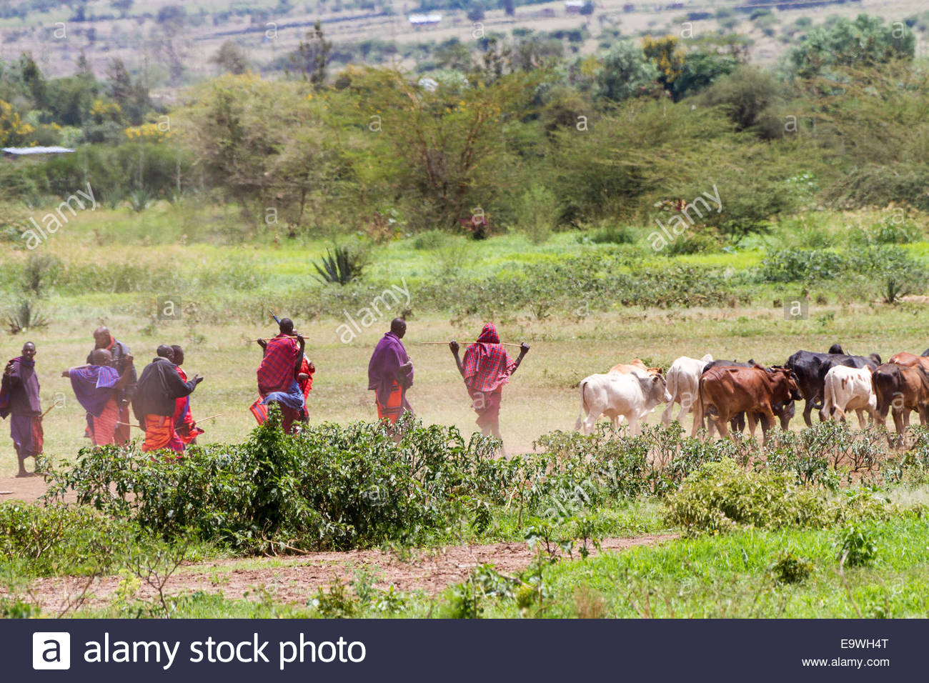 cattle people in east africa Loss of fertile land fuels 'looming crisis' across africa  kenya in the east  too many people, too many cattle and too little.