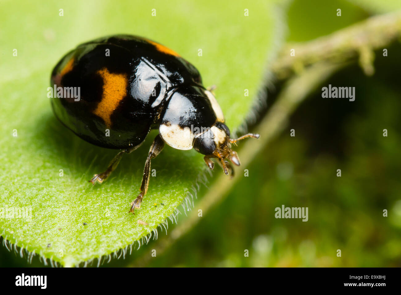 black-with-four-red-spots-spectabilis-fo