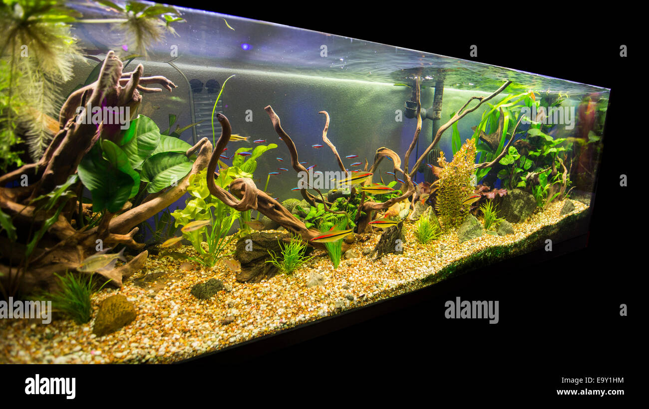 Freshwater aquarium fish cape town - A Beautiful Planted Tropical Freshwater Aquarium Stock Image