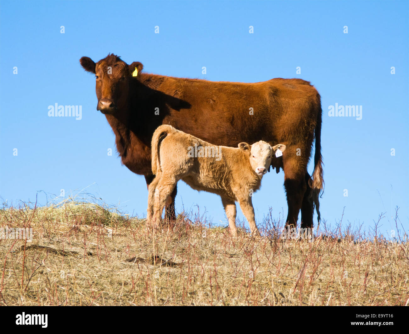 Red Charolais Cattle