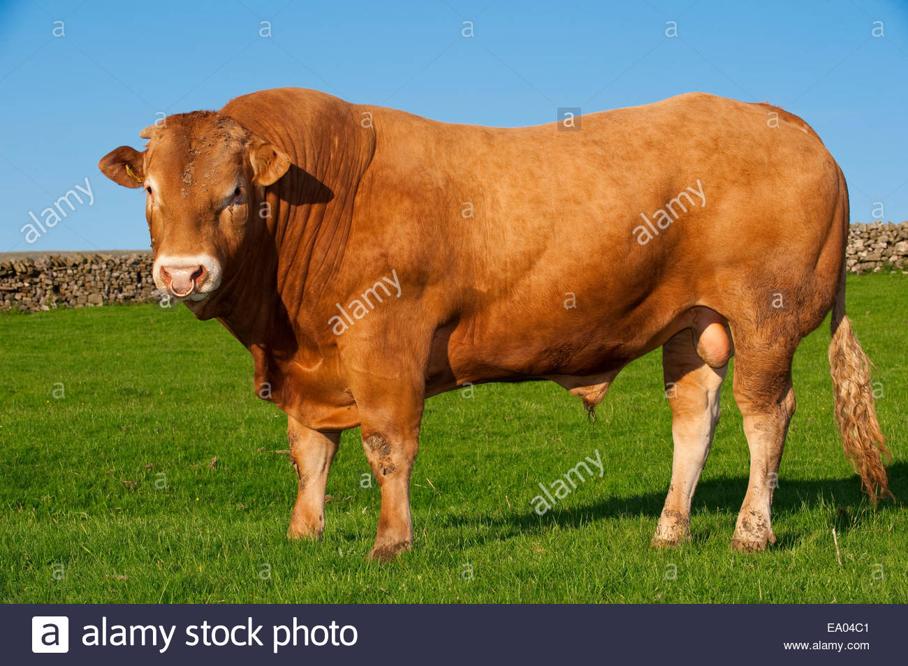 Agriculture blonde d 39 aquitaine beef bull on a green for Chambre d agriculture aquitaine