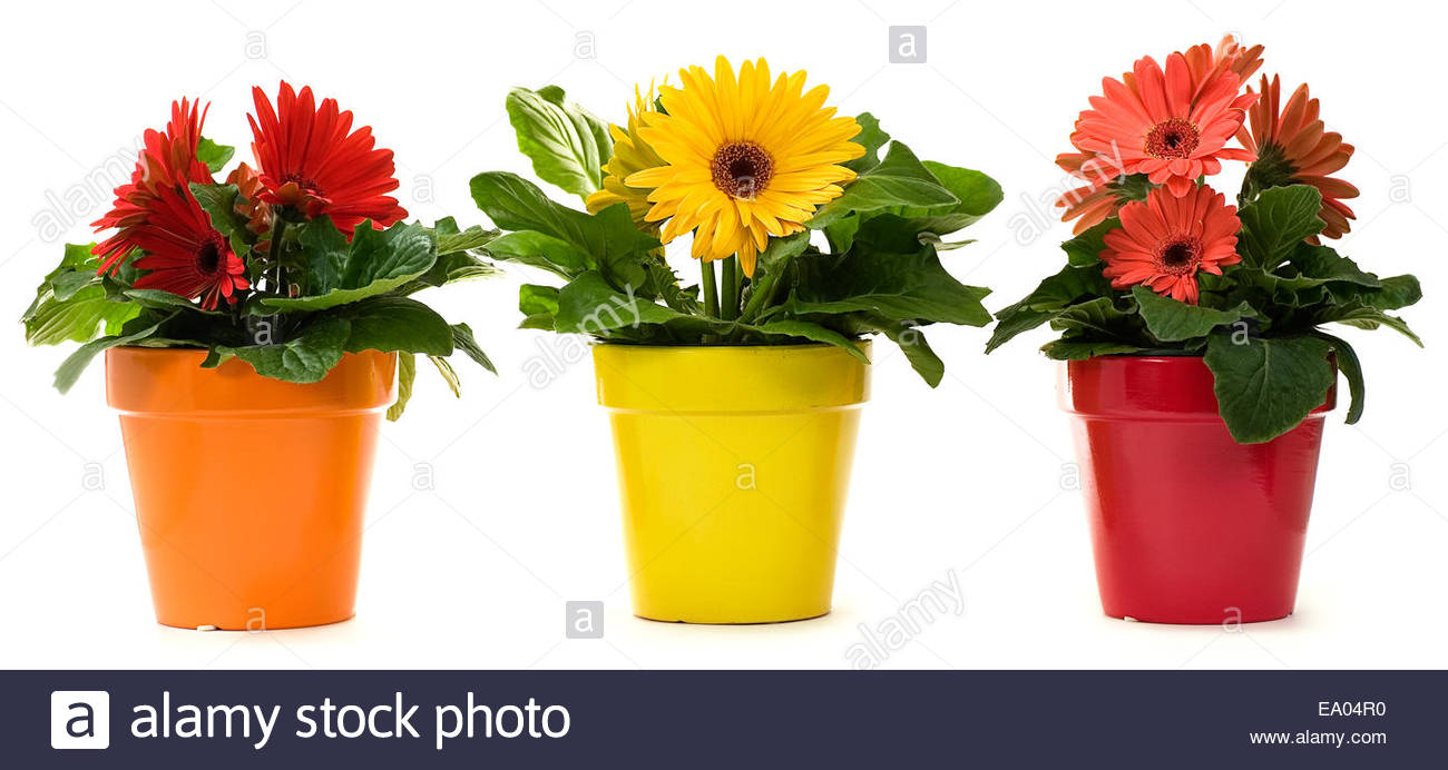 gerbera daisy plants in pots isolated on white stock photo royalty free image 74991812 alamy. Black Bedroom Furniture Sets. Home Design Ideas