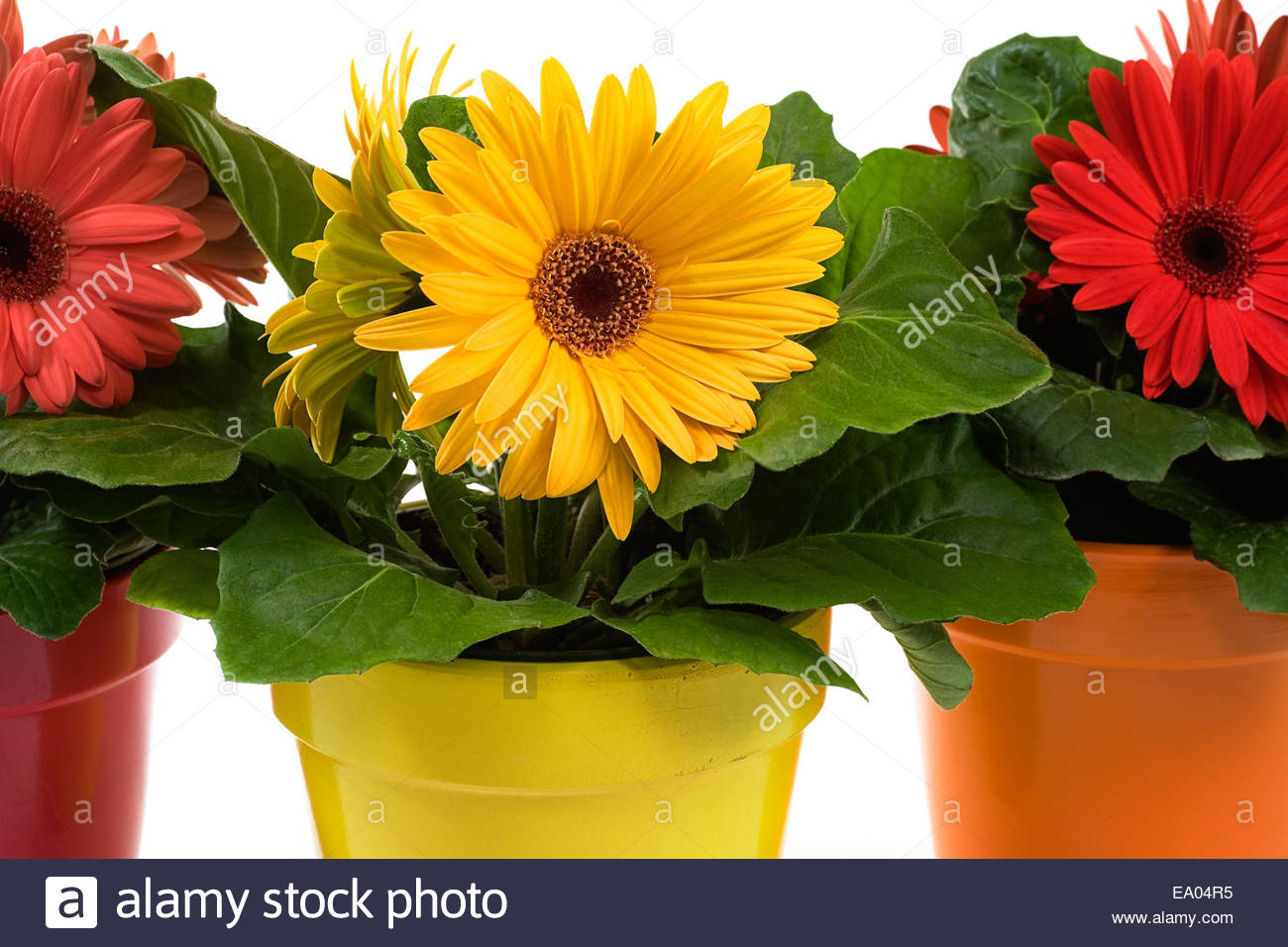 Plants for spring and summer - Stock Photo Yellow Red And Pink Potted Gerbera Daisy Plants For Spring Summer Or Mother S Day Themes