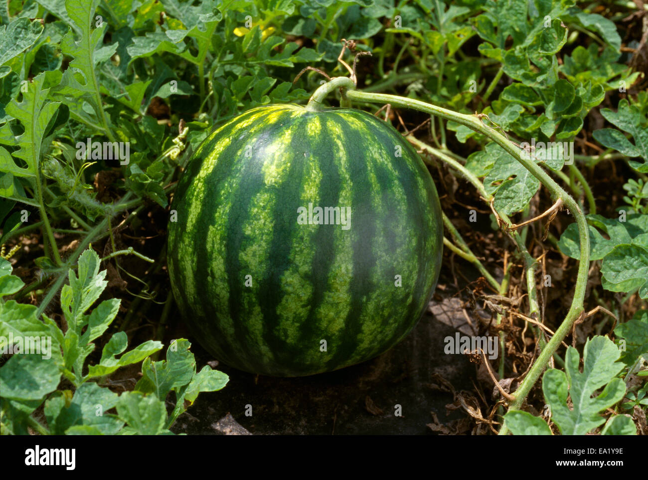How Long Does It Take A Watermelon To Mature
