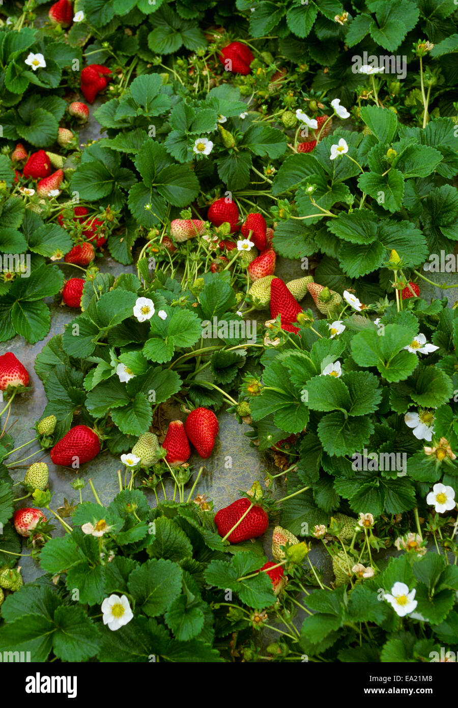 Agriculture - Strawberry plants with a healthy crop of ripe Stock ...