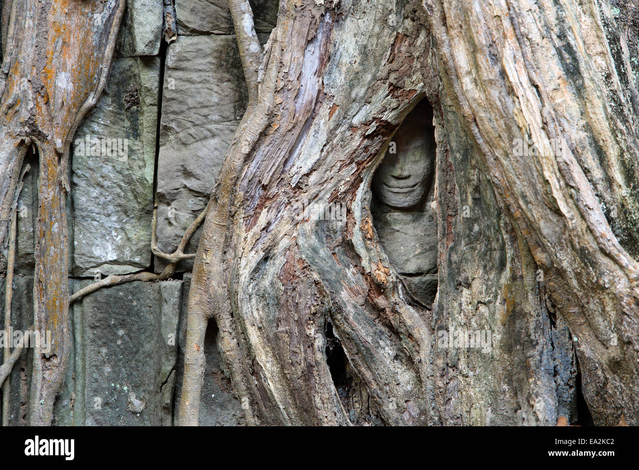 Stone Buddha Face Surrounded By Strangler Fig Tree Roots At Ta ...