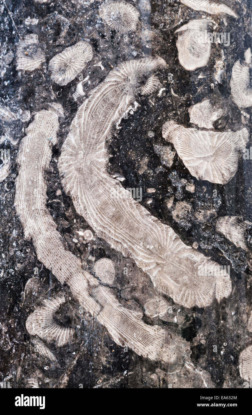Black Fossil Limestone : Fossils in a stone pillar made from frosterley marble