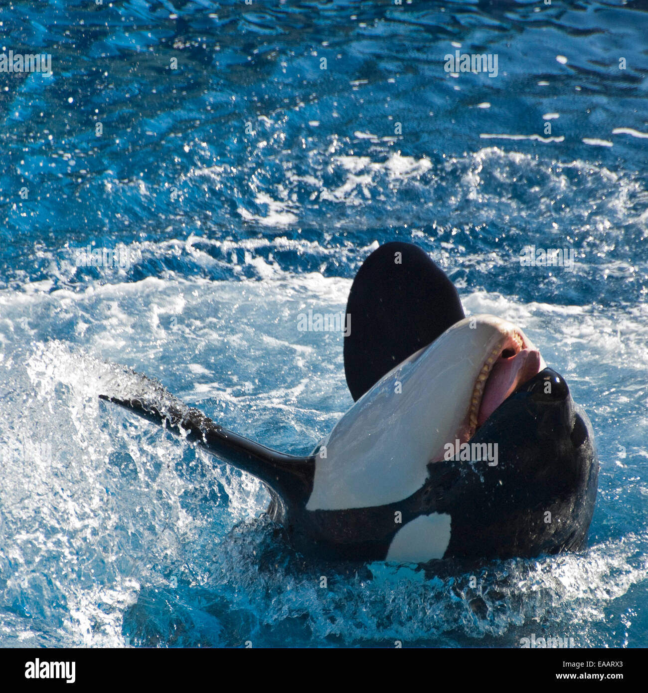 Square close up of an Orca or killer whale Stock Photo ...