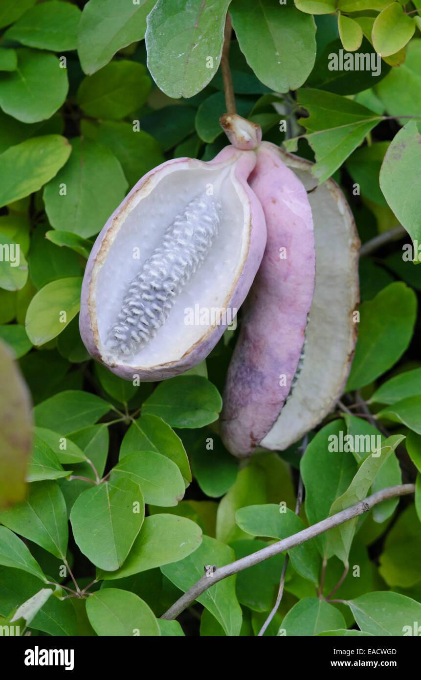 Chocolate vine (Akebia quinata Stock Photo, Royalty Free Image ...