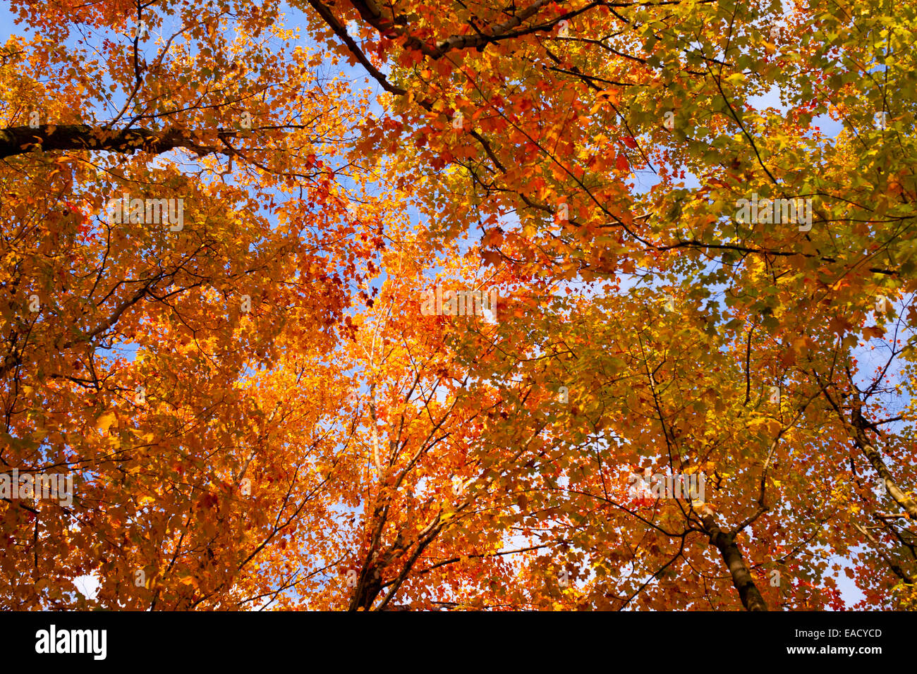 Maple trees acer with bright autumn coloured leaves sutton maple trees acer with bright autumn coloured leaves sutton eastern townships quebec province canada sciox Choice Image