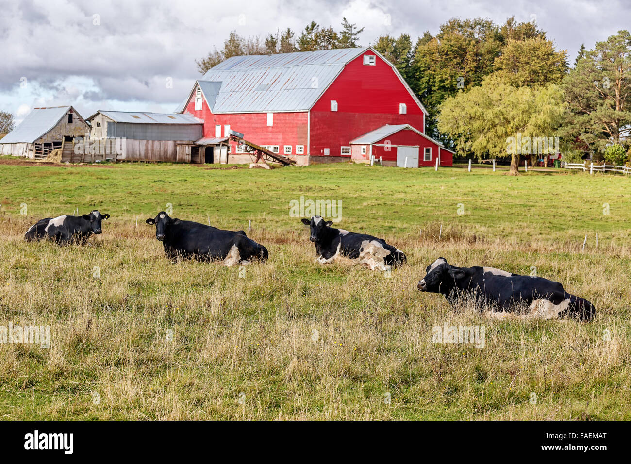 Cow on green pasture with red barn with grain silo royalty free stock - Dairy Cattle And A Red Barn On A Farm Stock Image