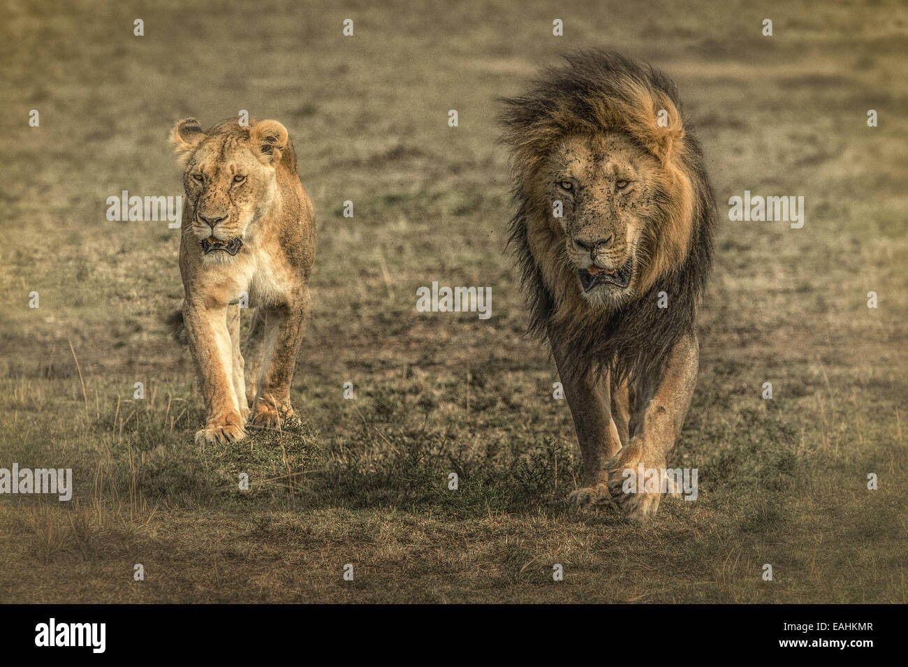 Lions walking together - photo#10