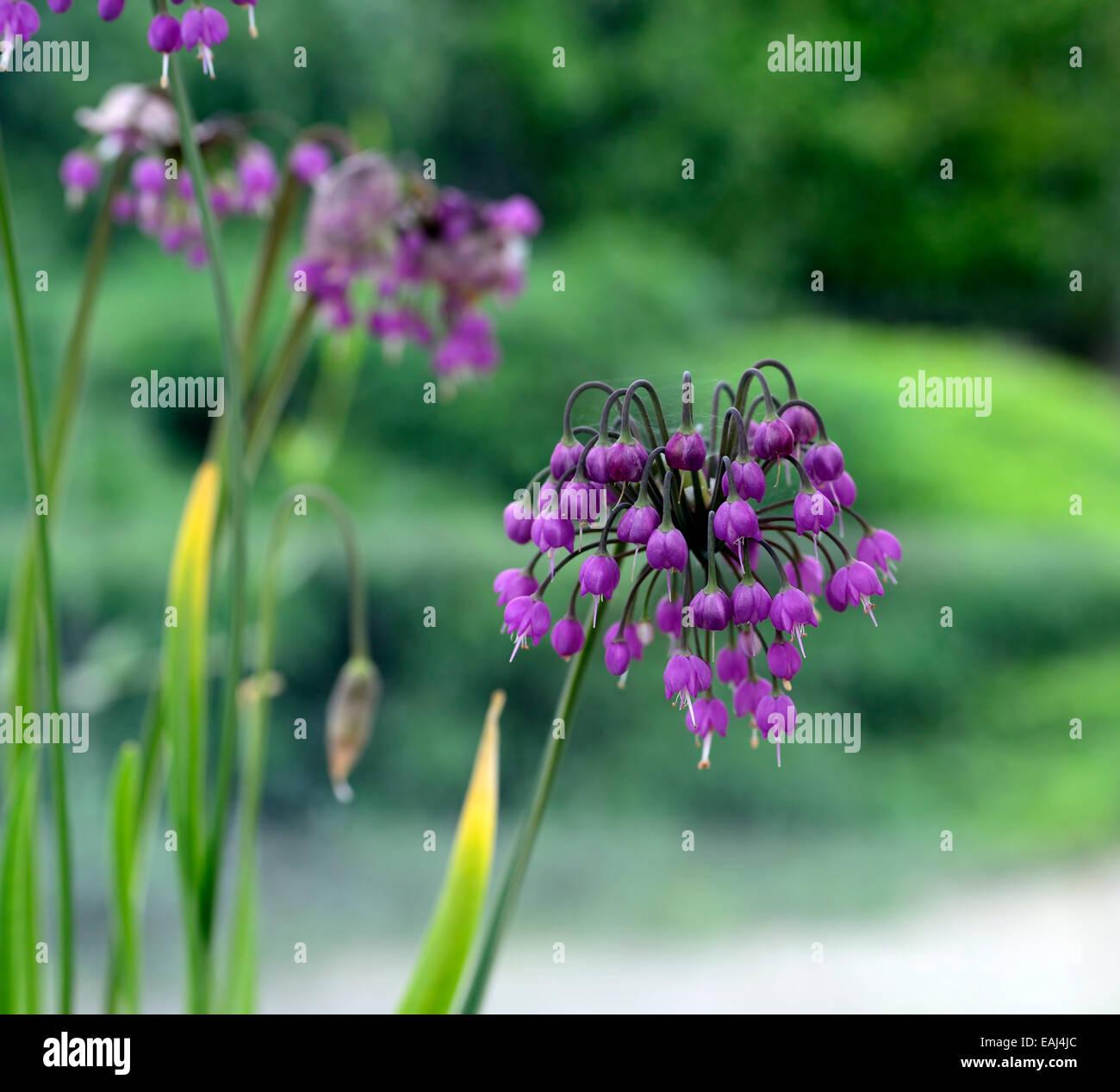 allium cernuum purple flower flowers flowering nodding ...