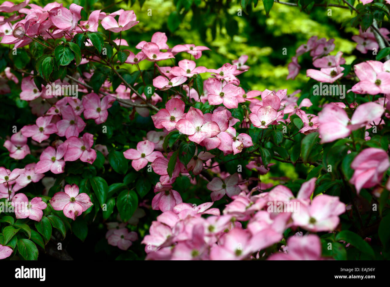 cornus kousa miss satomi pink flowers flower flowering dogwood stock photo royalty free image. Black Bedroom Furniture Sets. Home Design Ideas