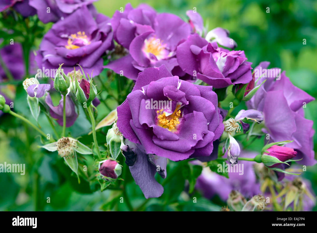 rosa rhapsody in blue frantasia rose purple flower flowers bloom stock photo royalty free image. Black Bedroom Furniture Sets. Home Design Ideas