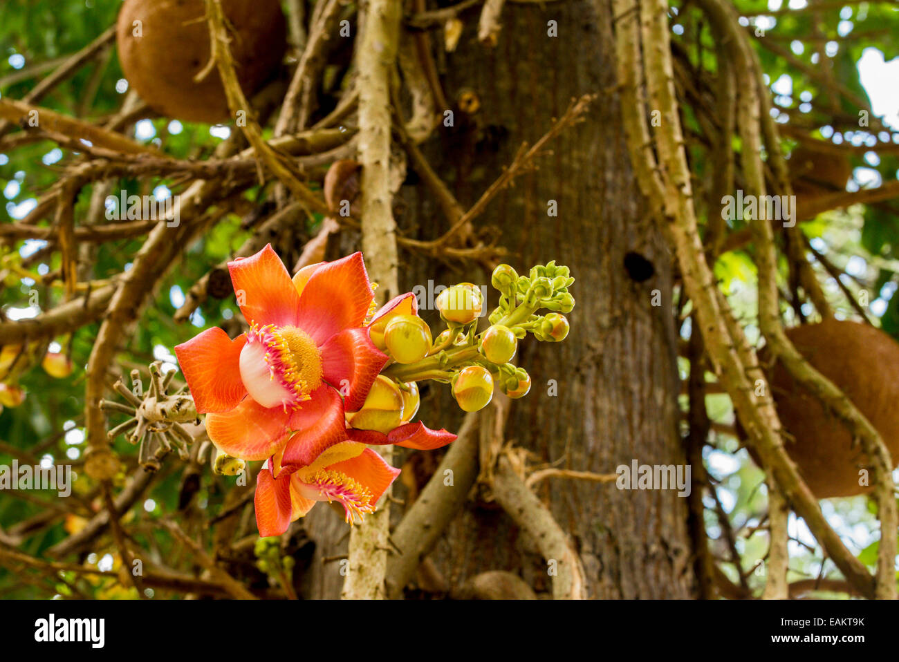 jackfruit flower wwwpixsharkcom images galleries