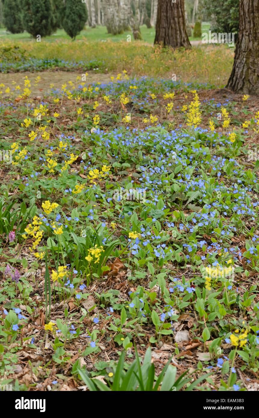 blue eyed mary omphalodes verna and barrenwort