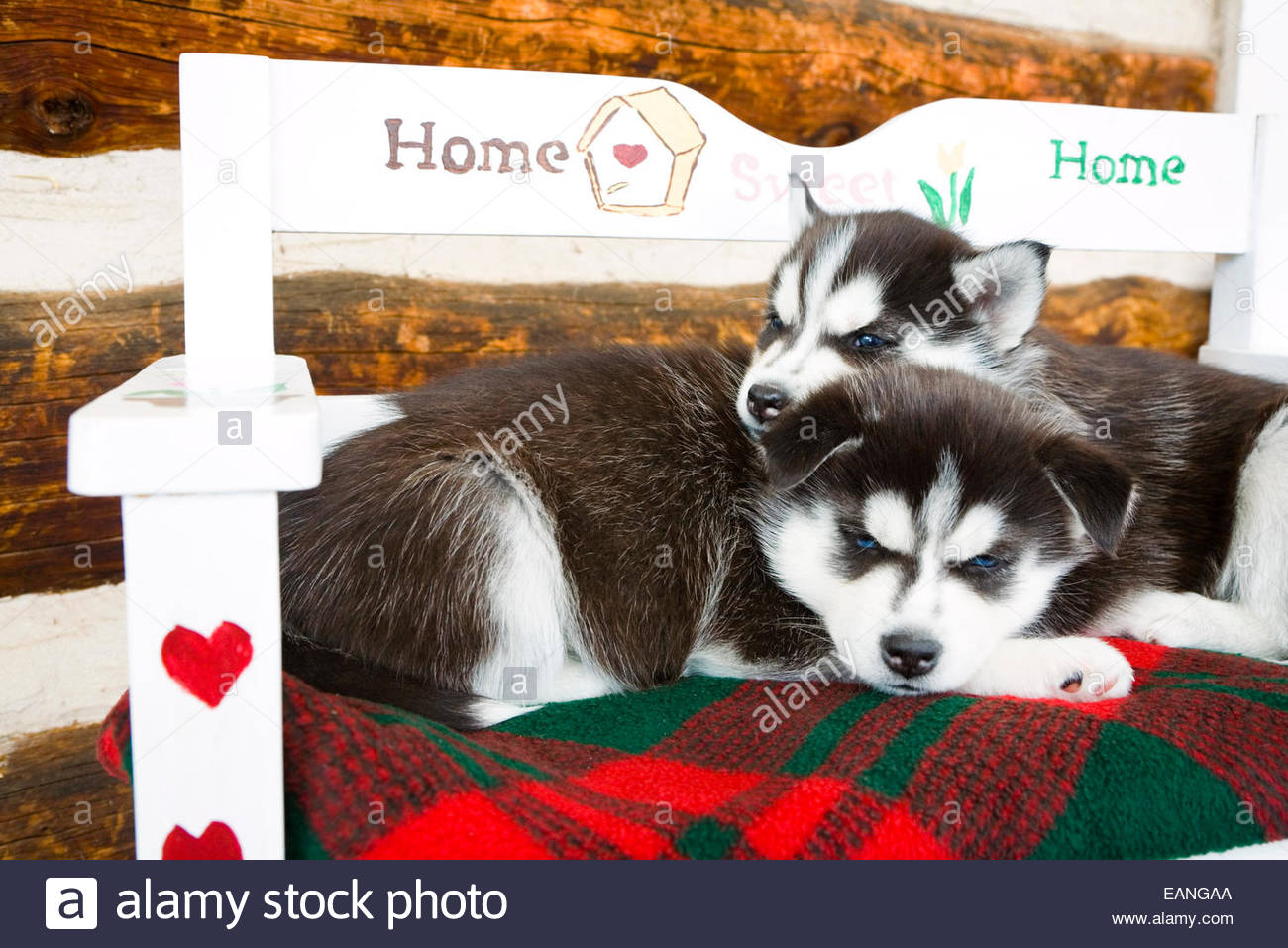 Husky puppies for sale yucca valley - Siberian Husky Puppies Cuddle Close On A Holiday Cushion Bench Arkansas Valley
