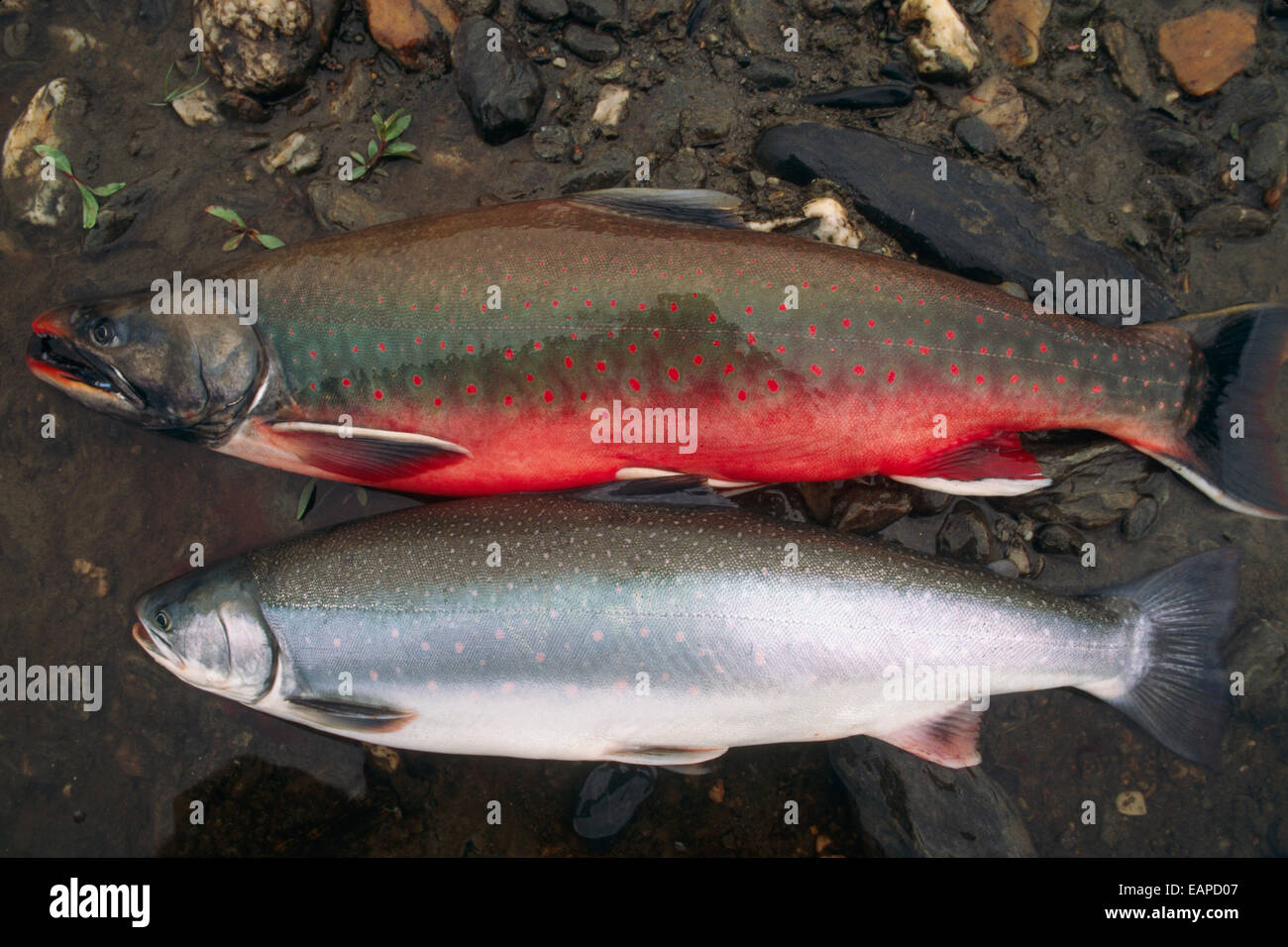 Comparison shot of dolly varden both spawning colors and for Dolly varden fish
