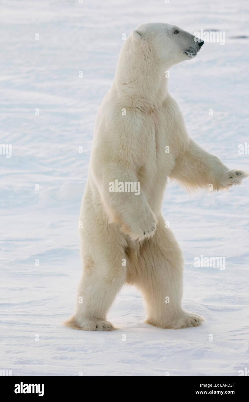 polar bear standing on hind feet at churchill manitoba