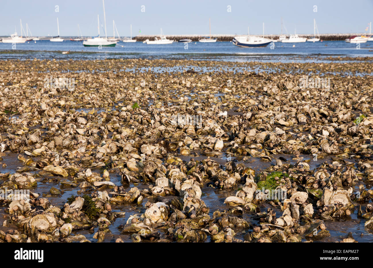 Natural Oyster Reef Oyster Reef Drawing 37...