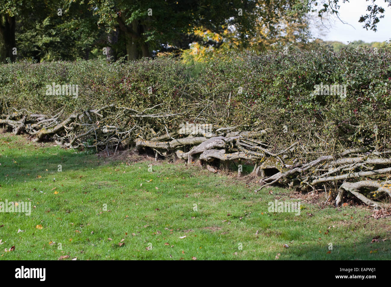 hawthorn-hedge-crotaegus-monogyna-cut-an