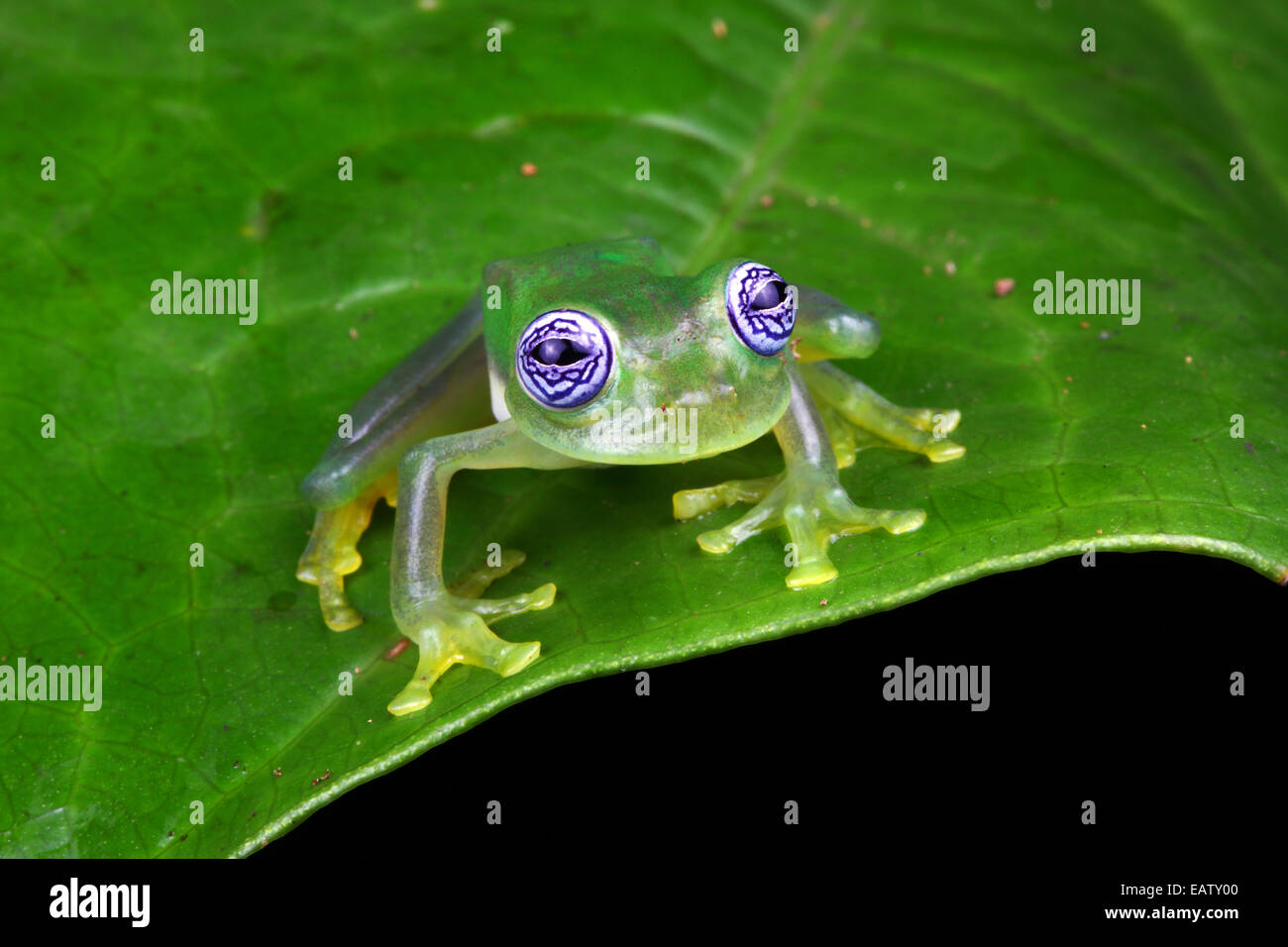 the ghost frog