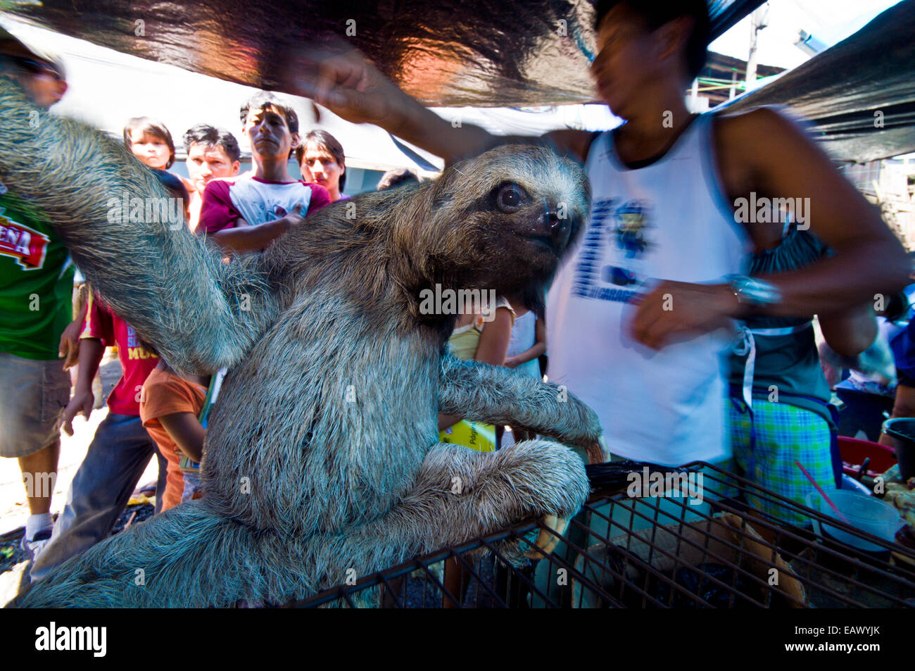 Worksheet 3 Toed Sloth For Sale a juvenile brown throated three toed sloth for sale in an illegal black market