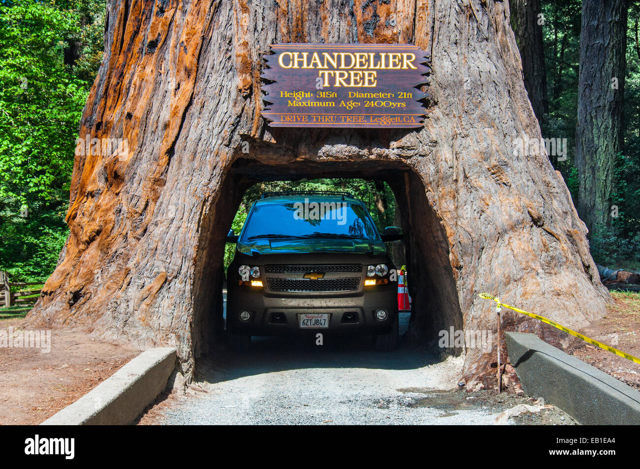 Drive thru tree chandelier redwood tree car driving through famous attraction of the redwood national park a drive through tree stock photo arubaitofo Images