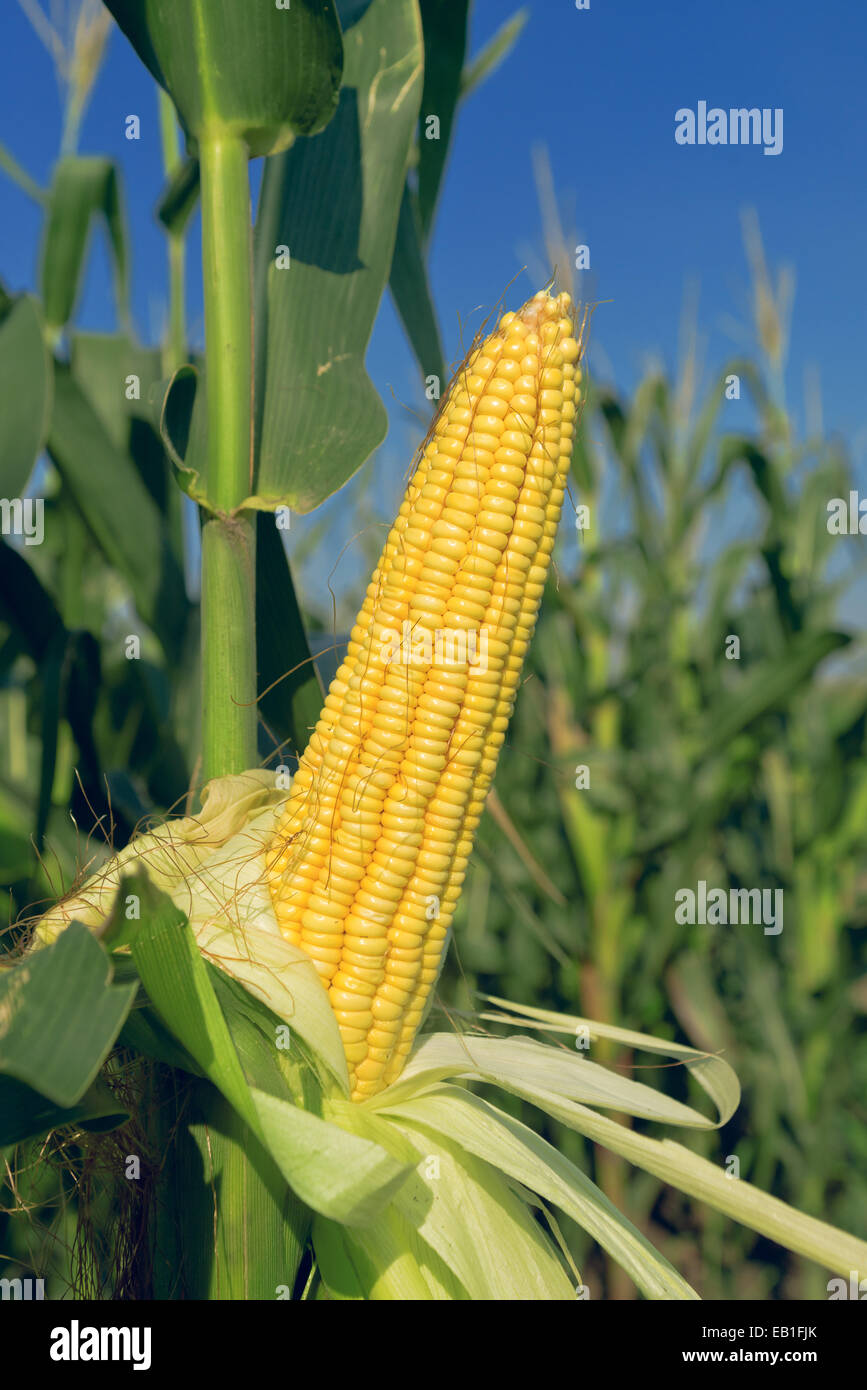 Corn Plant corn maize ear with ripe yellow seed on stalk of a fully grown