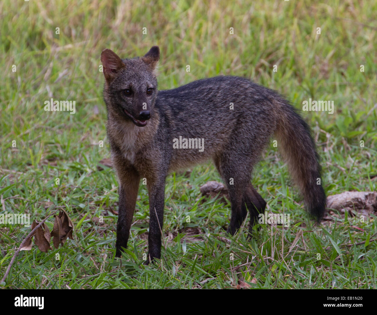 crab eating fox cerdocyon thous pantanal brazil stock photo