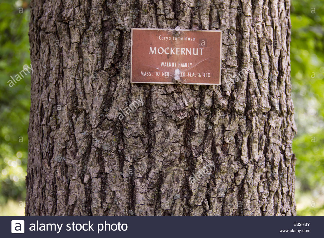 Close view of the bark and trunk a mockernut hickory