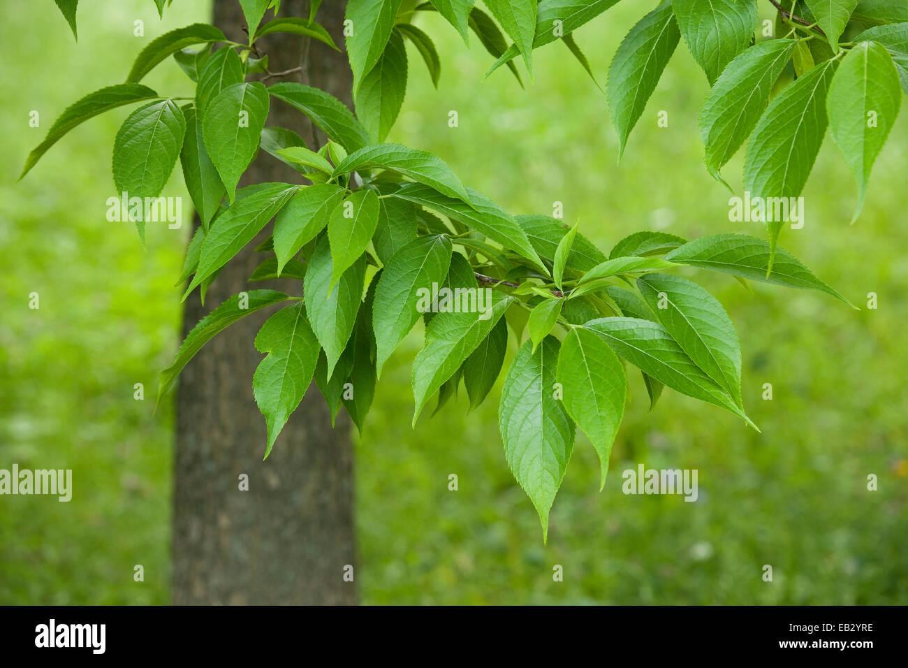 Hardy Rubber Tree Eucommia Ulmoides Leaves Native To