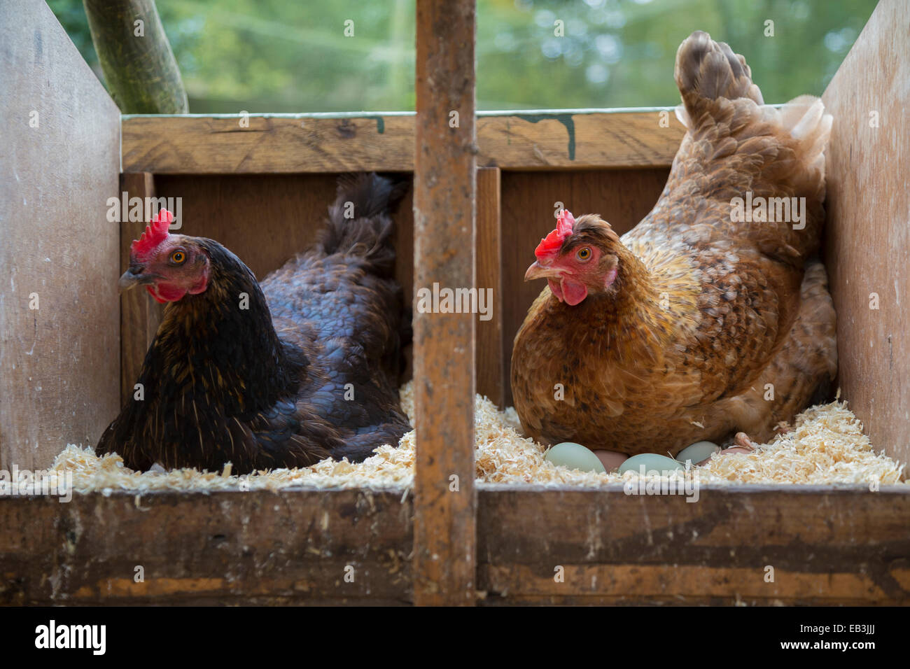 Chicken Sitting On Eggs: Two Free Range Hens Sitting On Eggs In The Hen House Stock