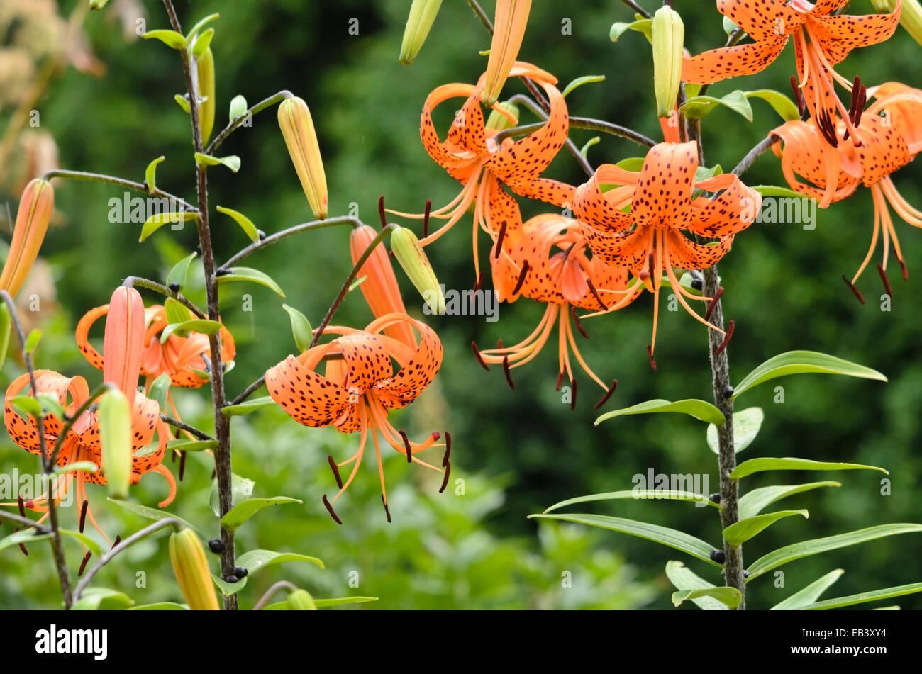 Lilium tigrinum (Tiger Lilies)