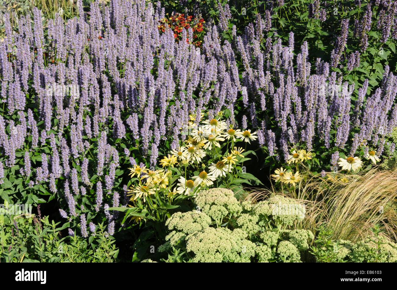 giant hyssop blue fortune - photo #17