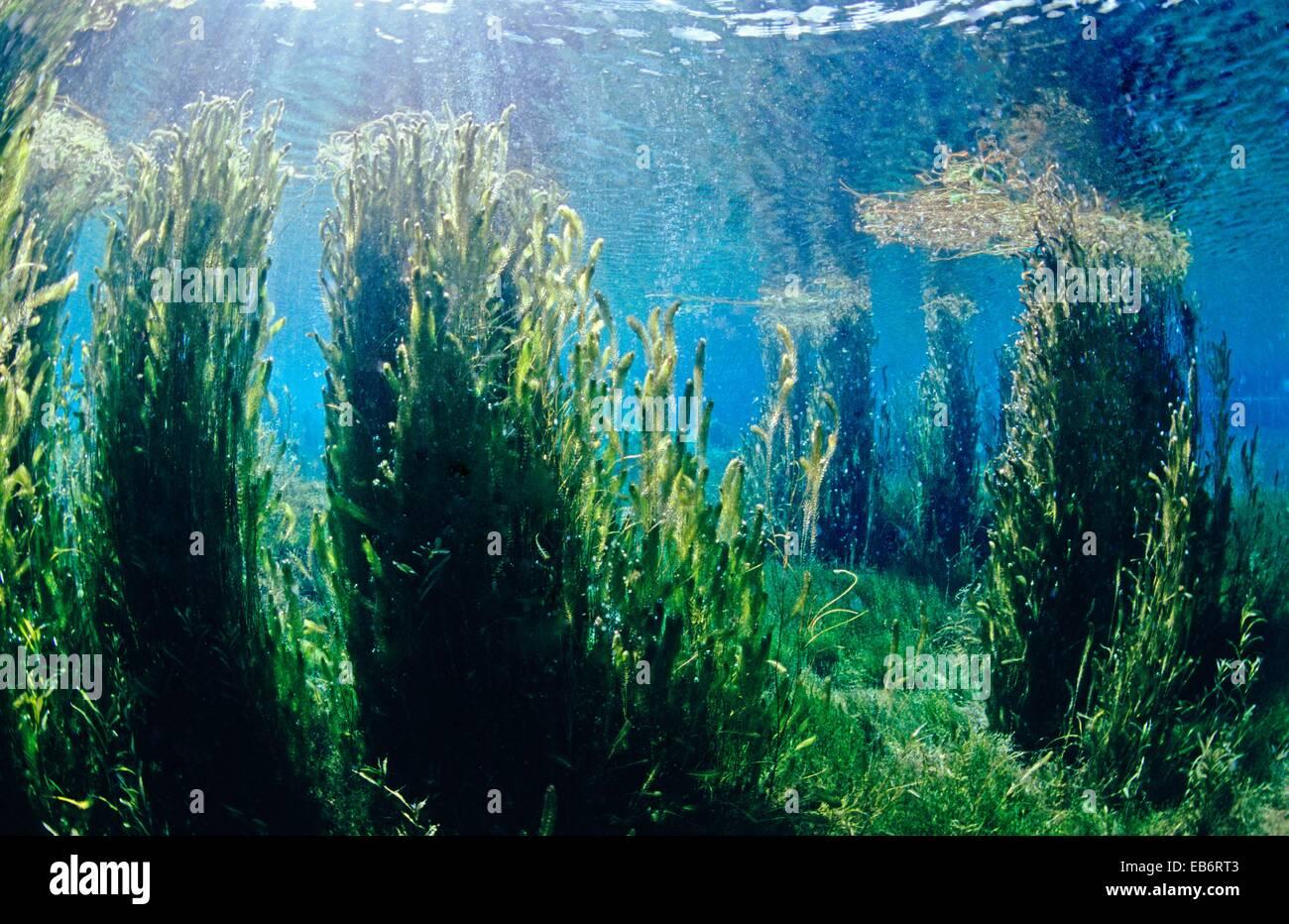 Image source plantsam com - Freshwater Plants And Underwater Landscape Of A Limestone Lagoon Source Of River Minho Fonmi A Galicia Spain