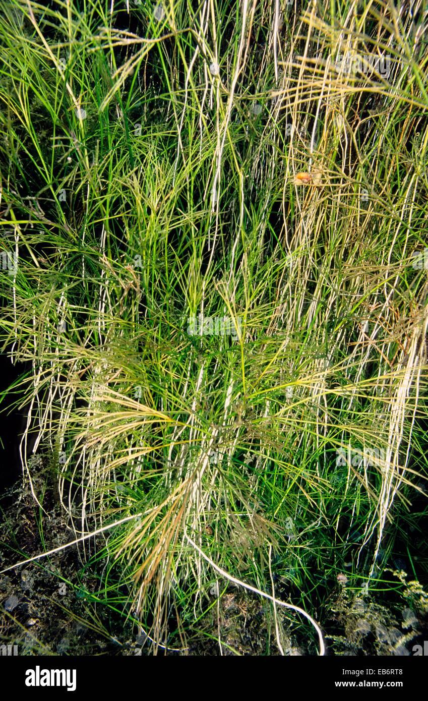 Image source plantsam com - Freshwater Plants Water Buttercup Ranunculus Sp Source Of River Minho Fonmi A Galicia Spain