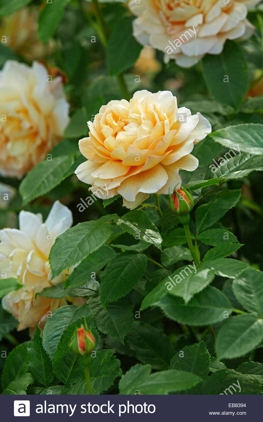 English rose gardens english rose garden seend - Rosa Grace English Rose David Austin Rose Garden Stock Image