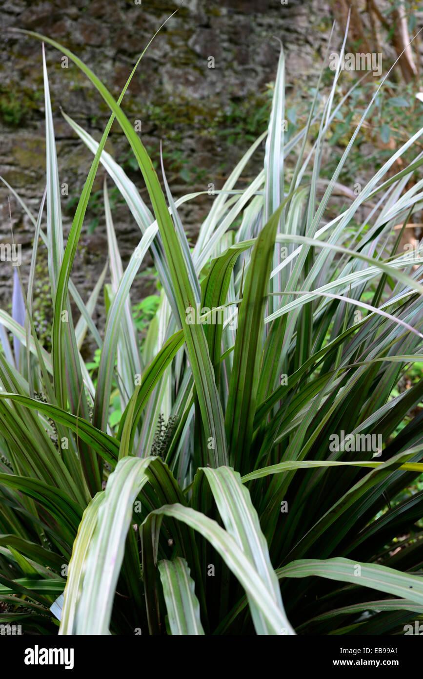 Astelia fragrans bush lily bush flax kakaha green leaves for Green ornamental grass
