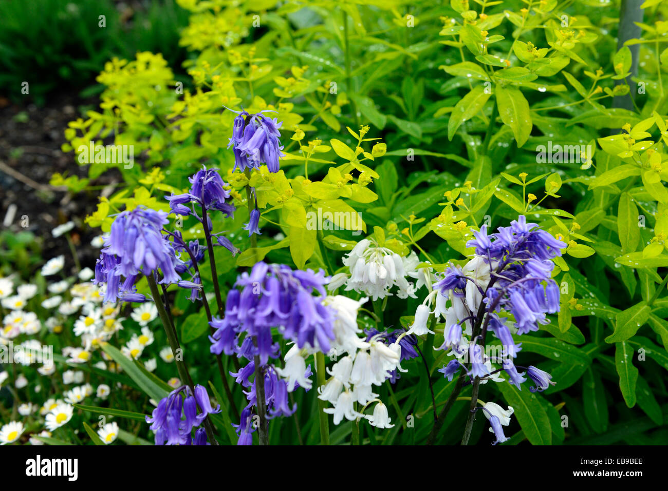 Euphorbia hyberna hyacinthoides non scripta bluebells white yellow stock photo euphorbia hyberna hyacinthoides non scripta bluebells white yellow green flower flowers flowering perennial rm floral dhlflorist Image collections