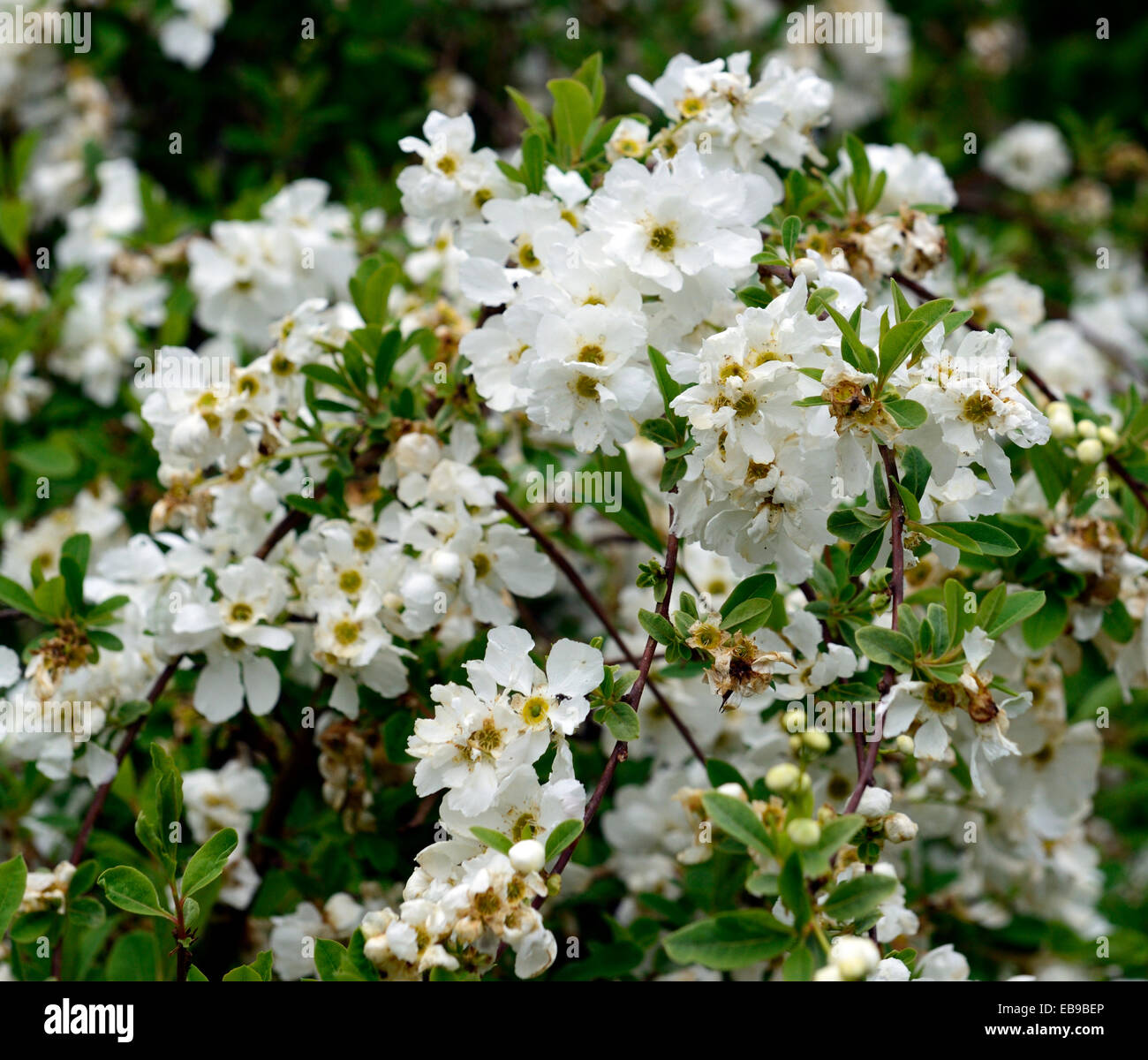 Exochorda x macrantha the bride white flower flowers for White flowering bush