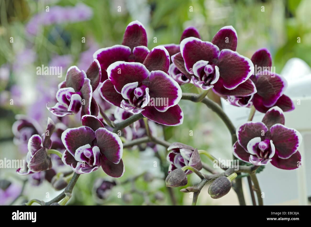 Image Taken At Orchid Garden, Kuching, Sarawak, Malaysia.