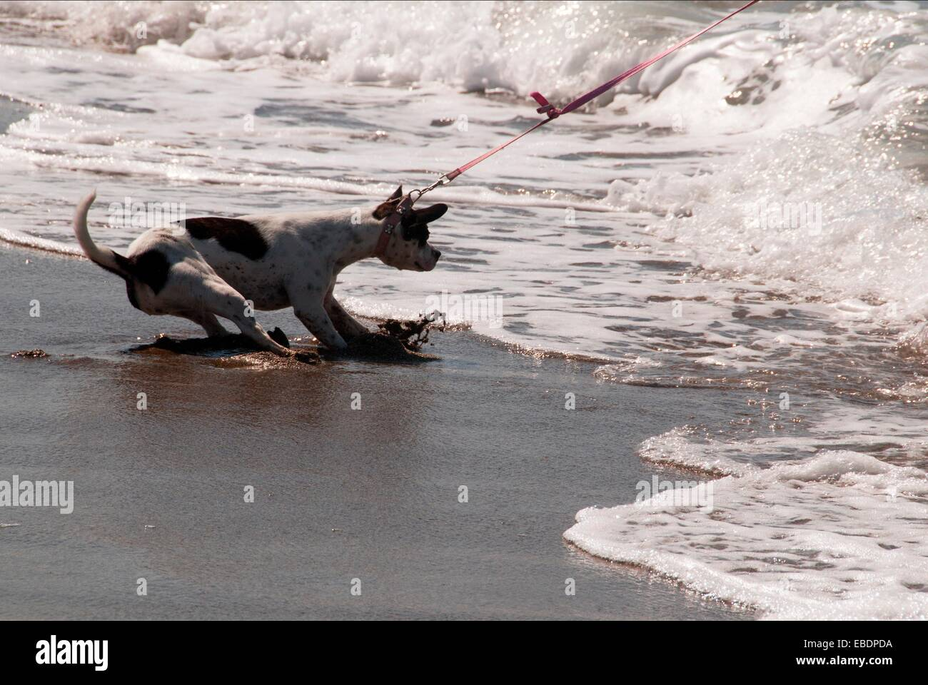 dog afraid of water on the beach forced by his owner to ...