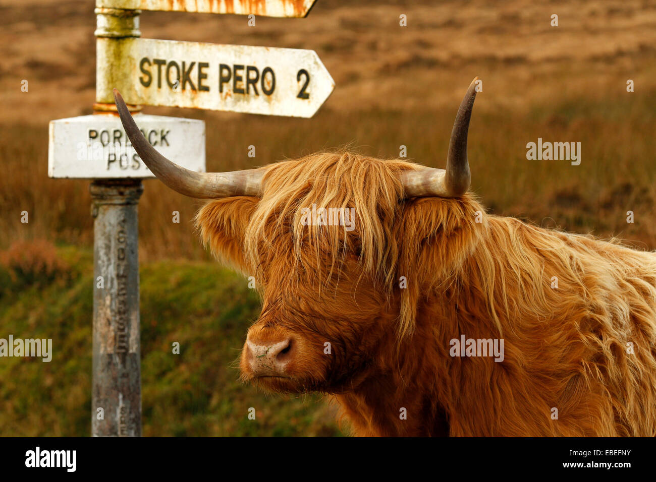 exmoor highland cow u0026 bull at porlock post with long horns u0026 long