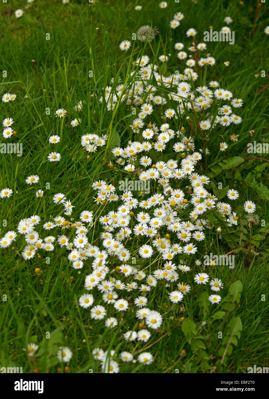 Mass of tiny white daisies in a garden at killin perthshire large cluster of wildflowers small white daisies growing among emerald grass in woods near dhlflorist Image collections