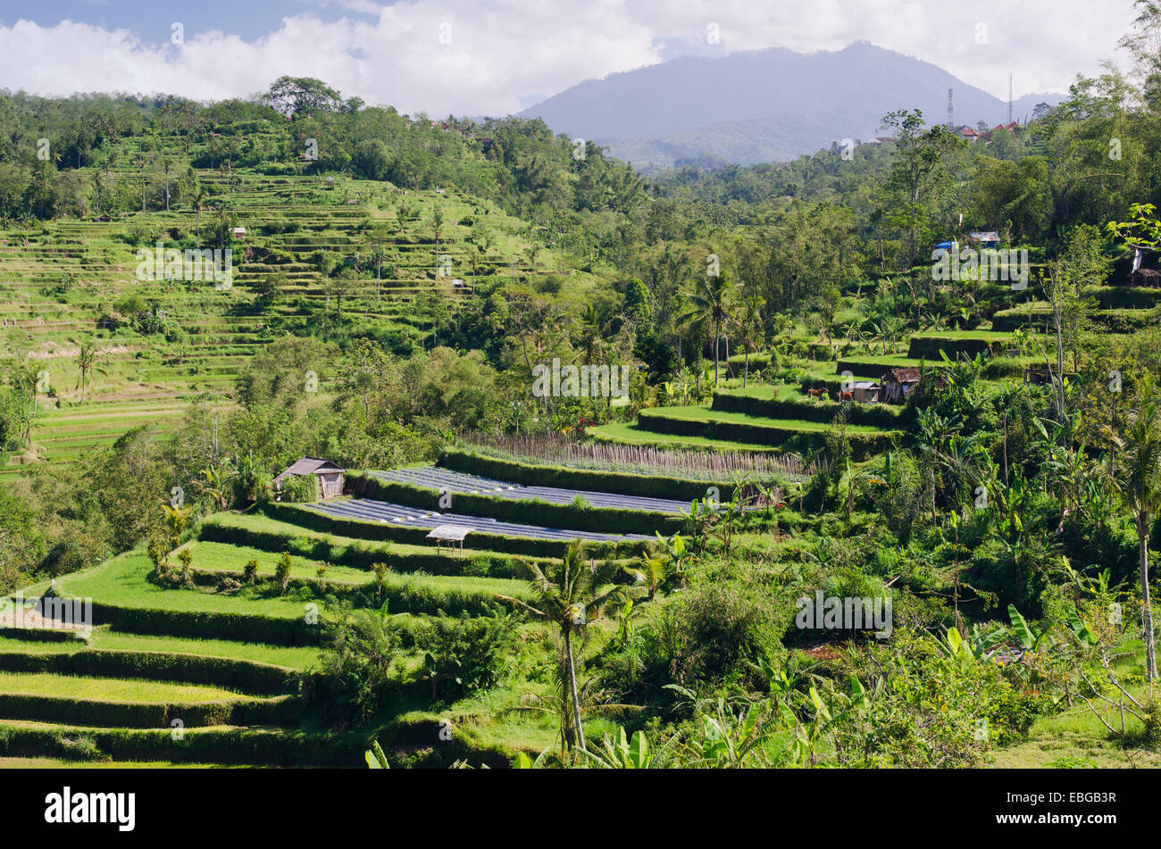 Rice terrace landscape pacung bali indonesia stock for Terrace landscape